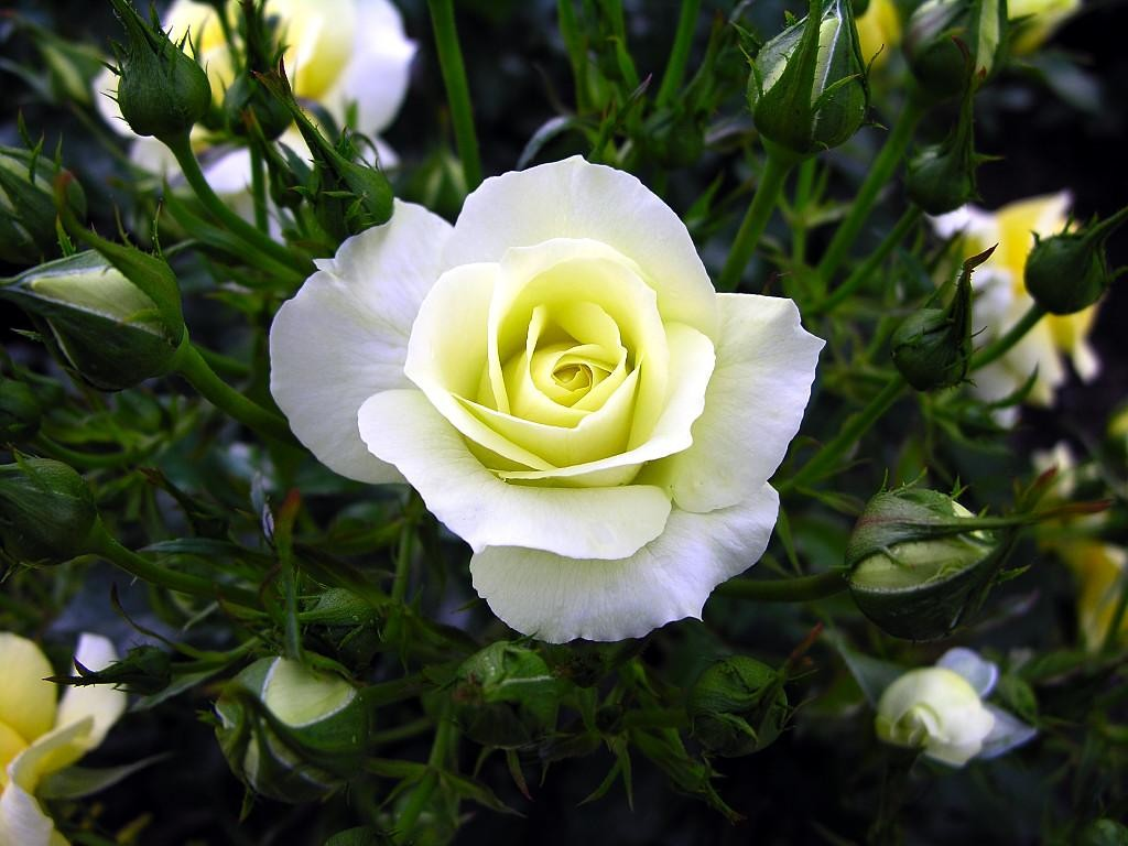 Beautiful White Rose Flowers Wallpapers