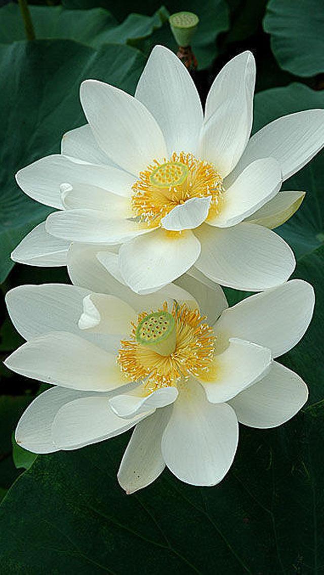 Lotus Flower iPhone Wallpaper