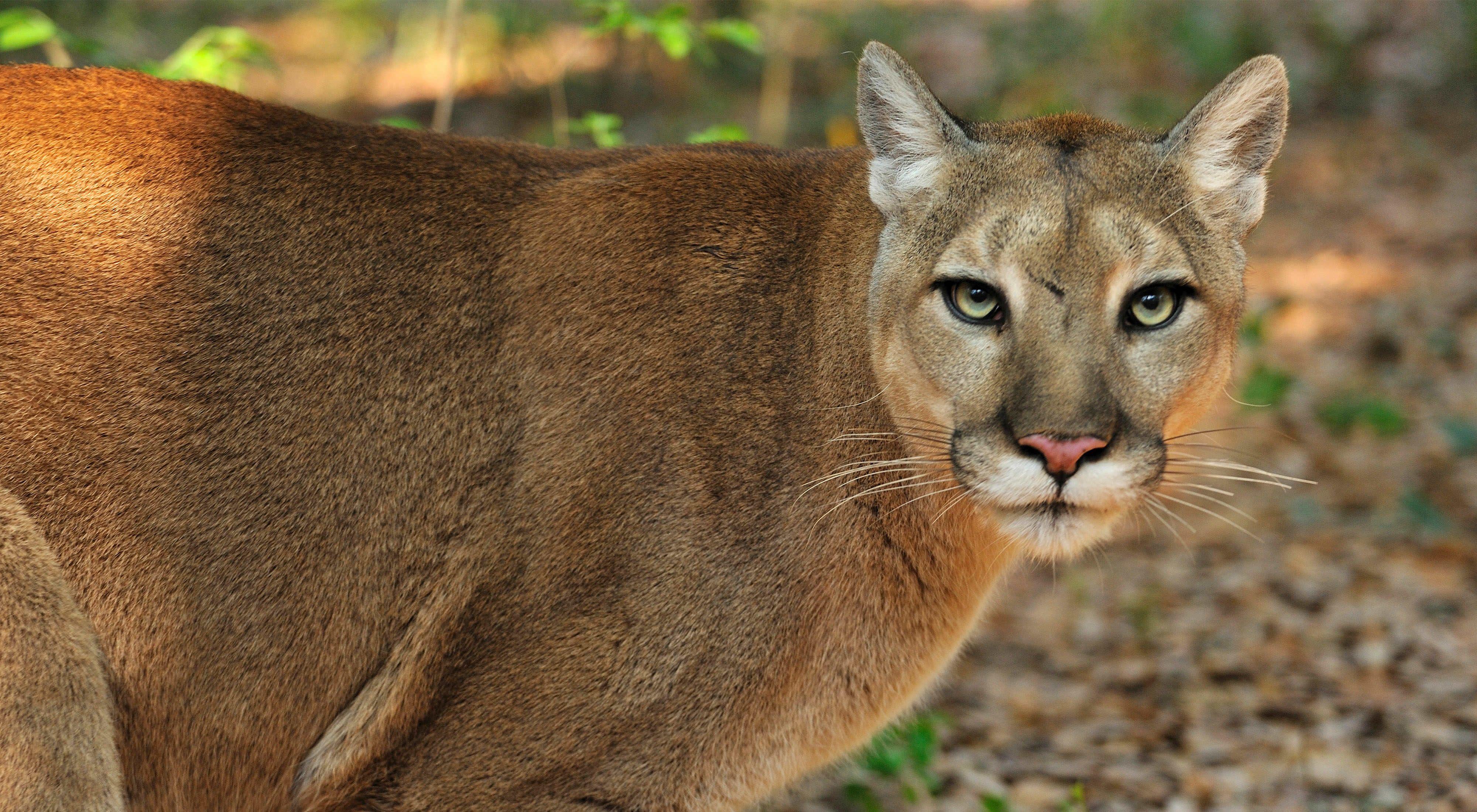 Wild Florida Panther