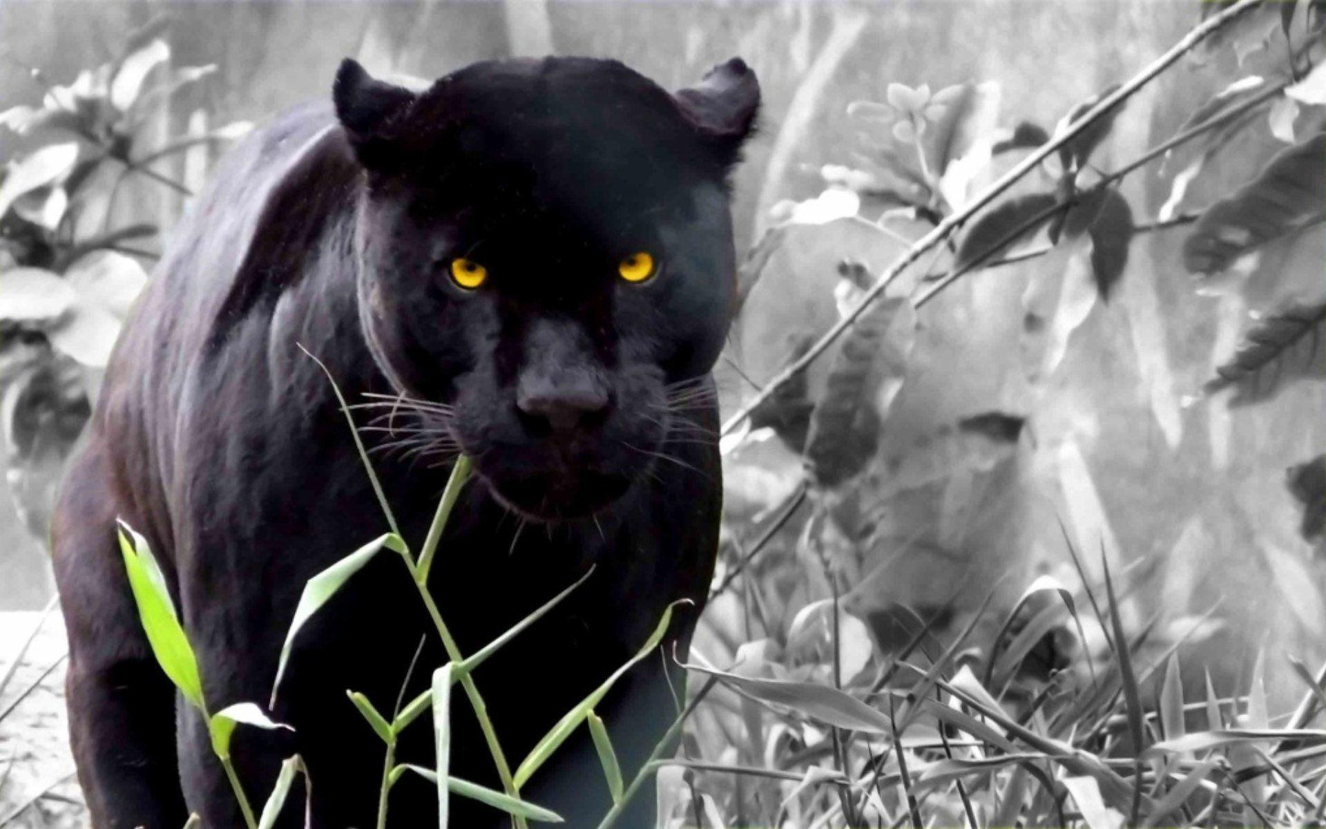 Cool Panther Backgrounds