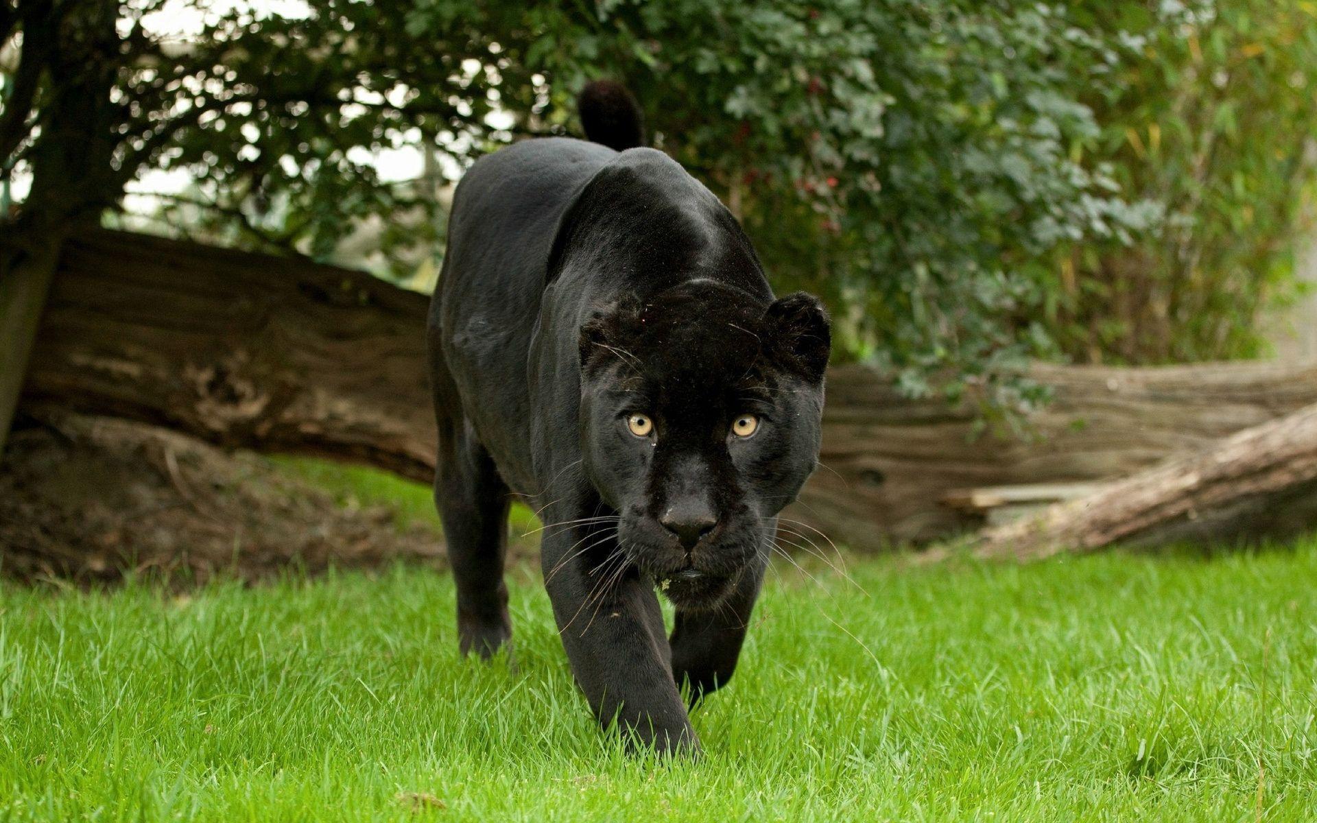 Black Panther Images Free