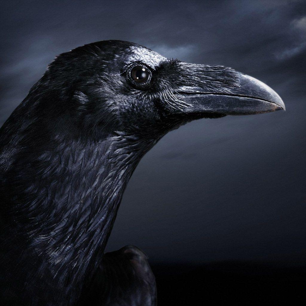 Cool Crow Wallpaper