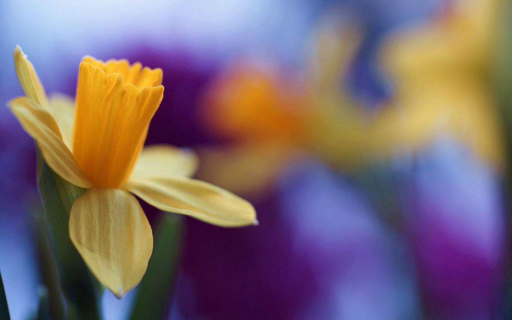 Daffodil Screensaver