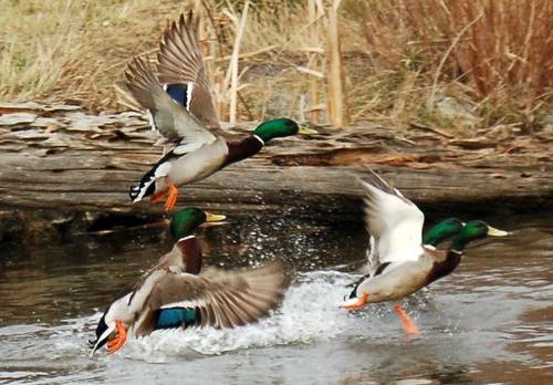 Duck Hunting Screensavers