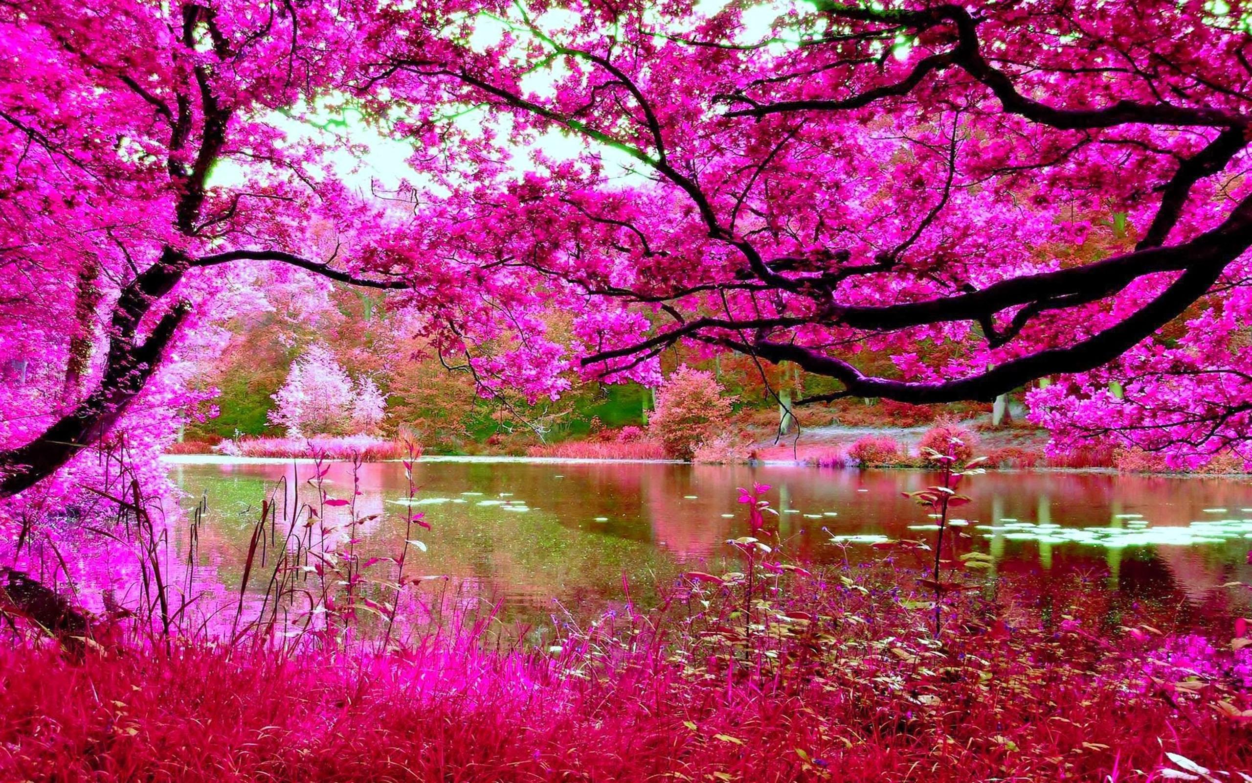 Cherry Blossom Desktop Wallpaper Free