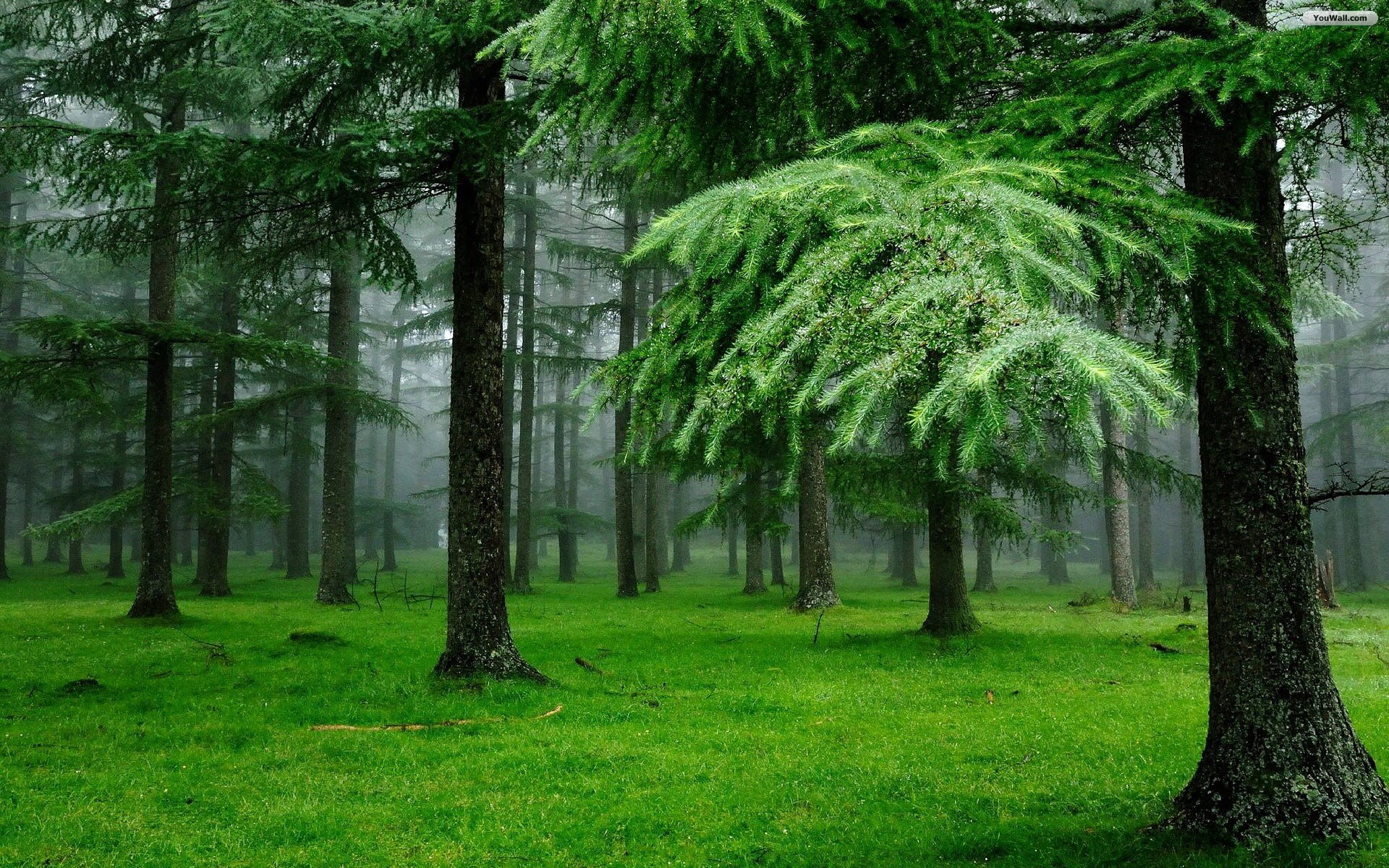 Pine Forest Desktop