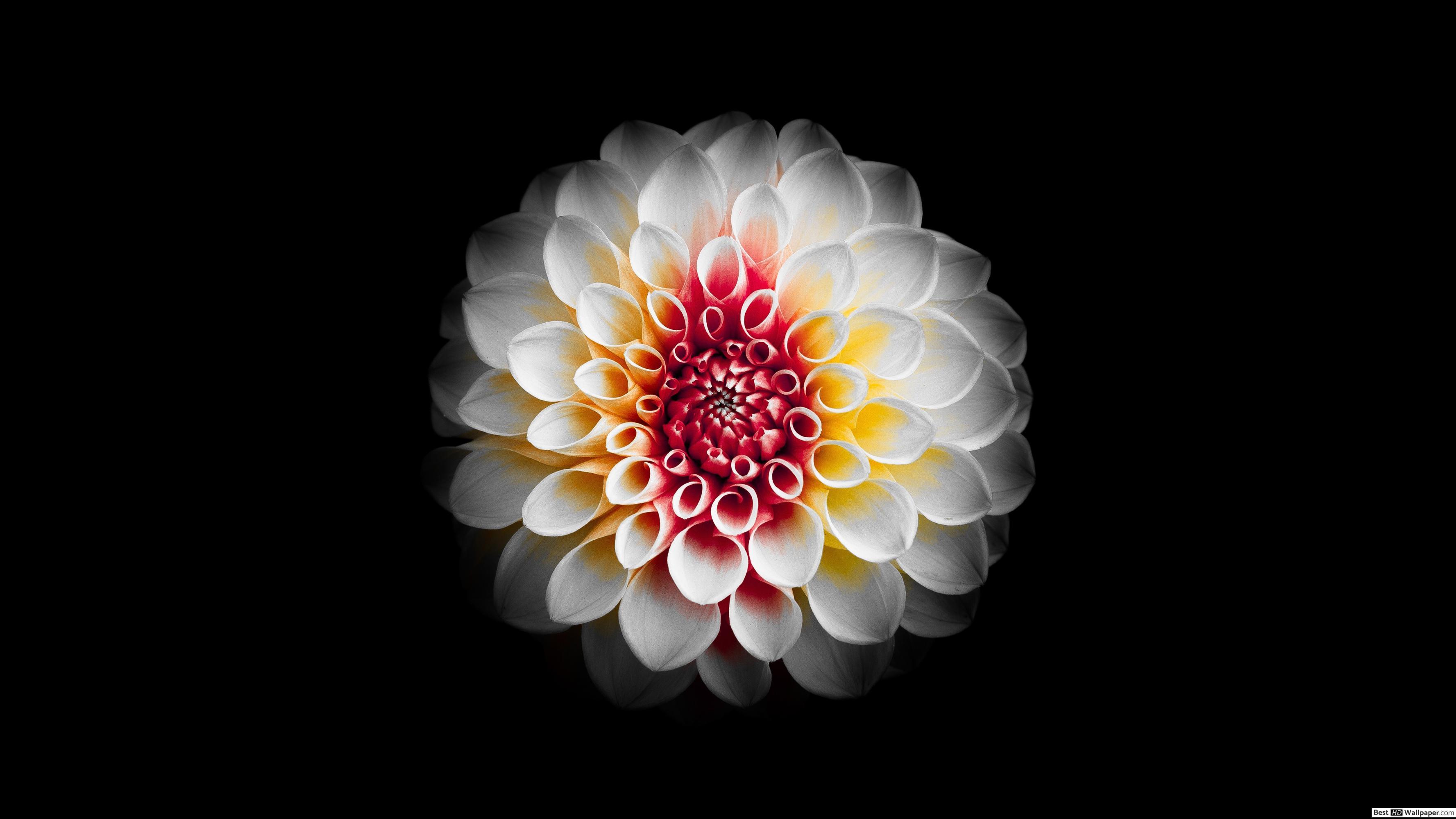 Flower Black Background HD