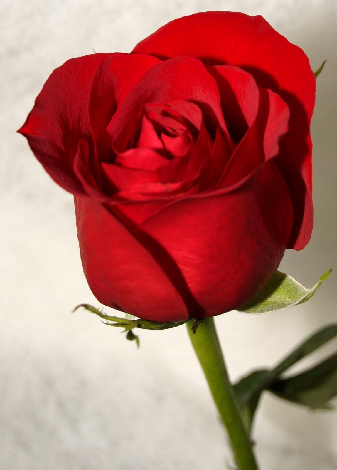 Rose Flowers Free Download
