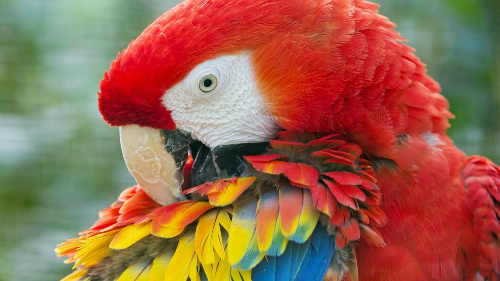 Parrot Bird Wallpaper