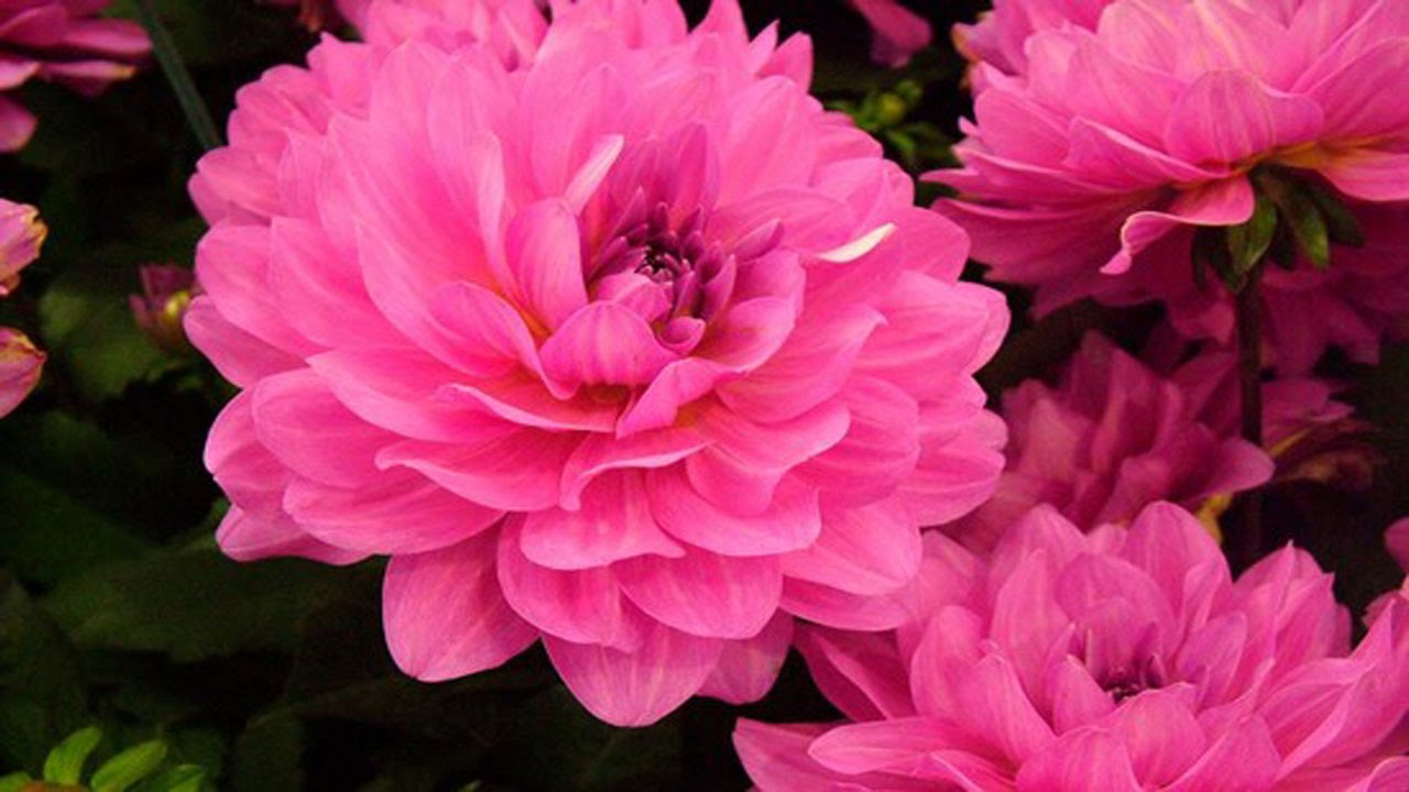 Most Beautiful Pink Flowers