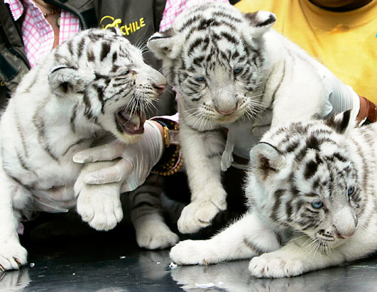 Cute White Tiger Backgrounds