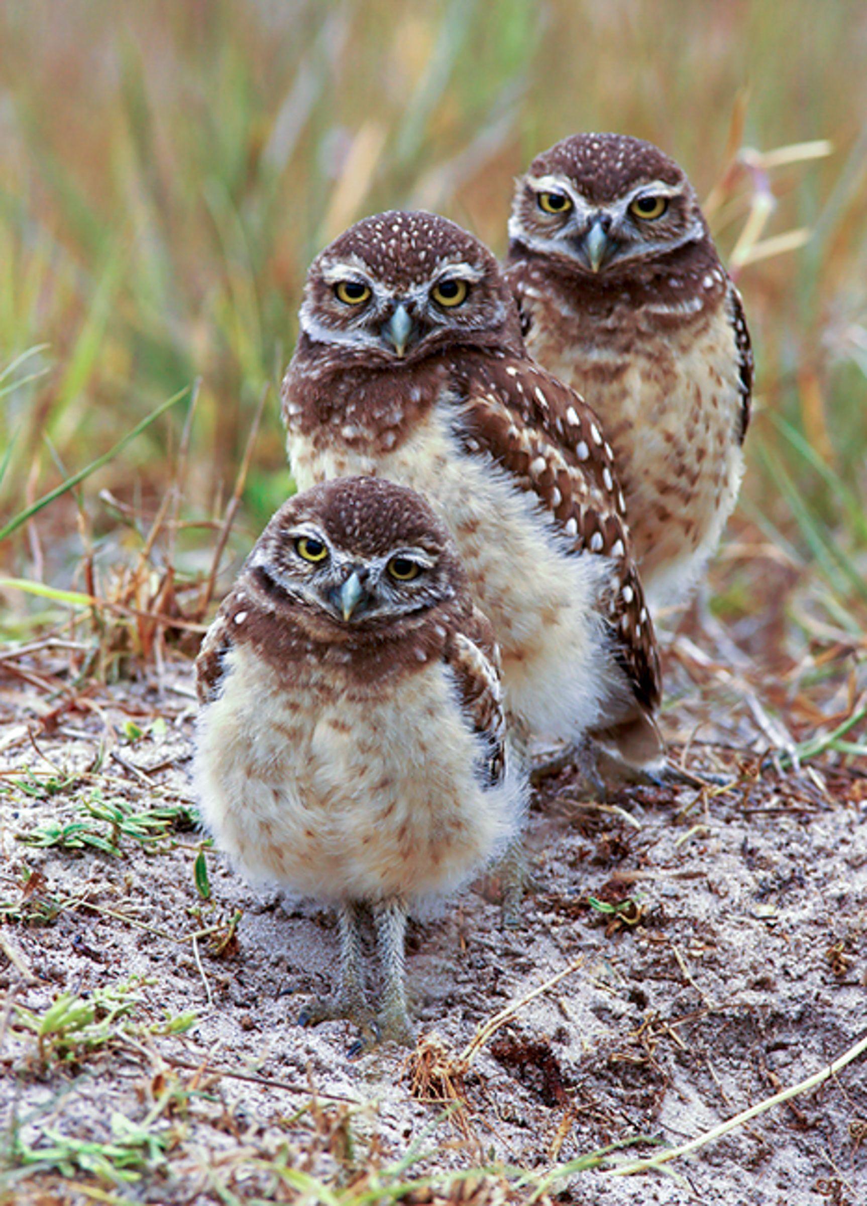 Baby Owls Animal