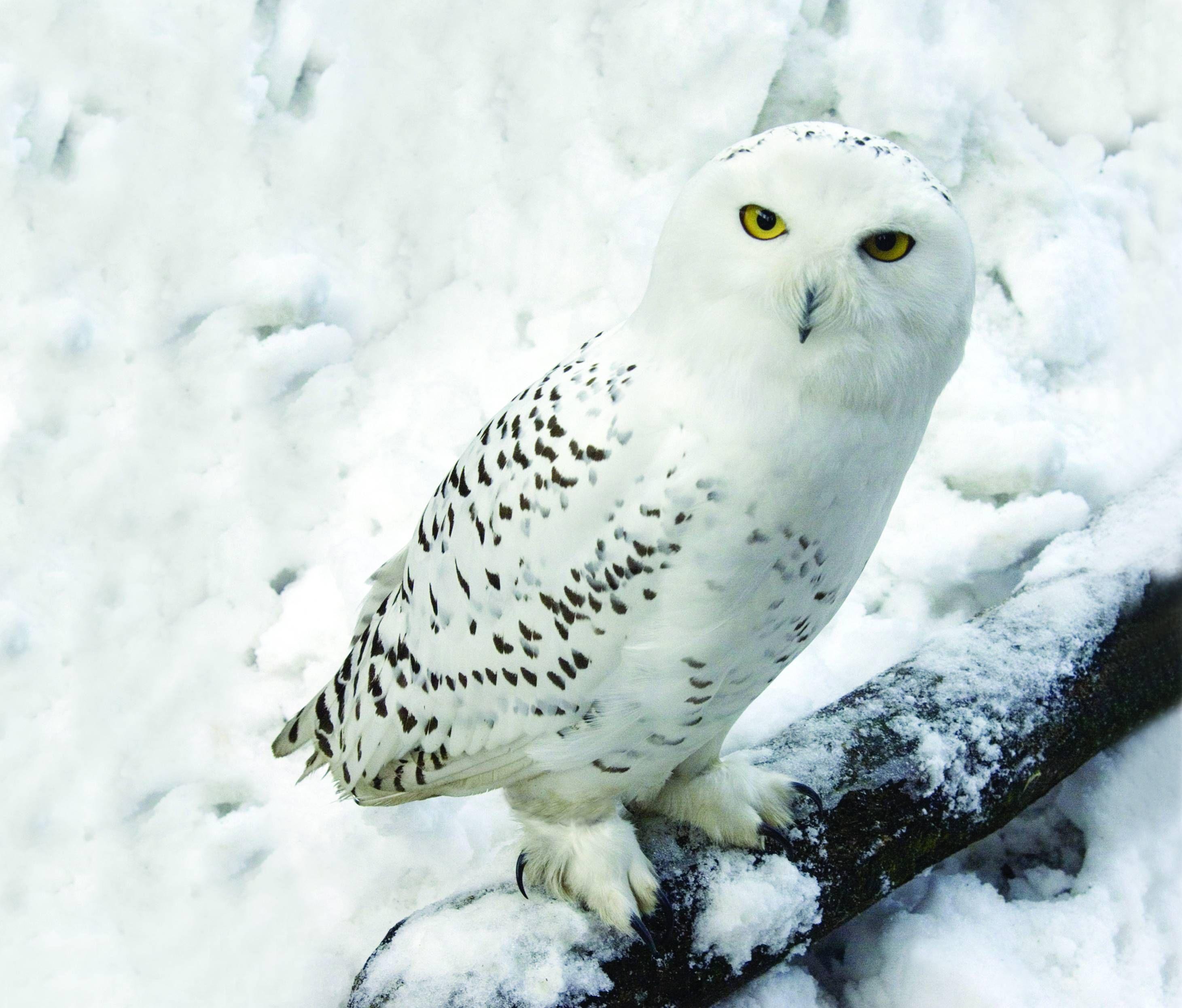 Arctic Animals Owl