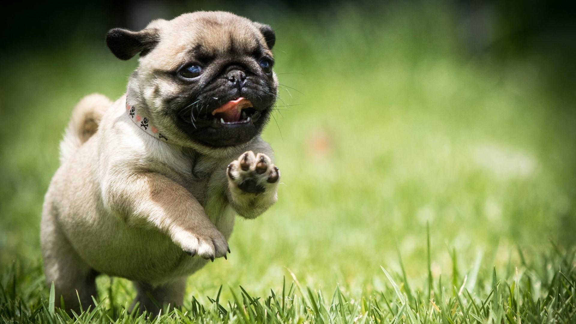 Free Pug Dogs