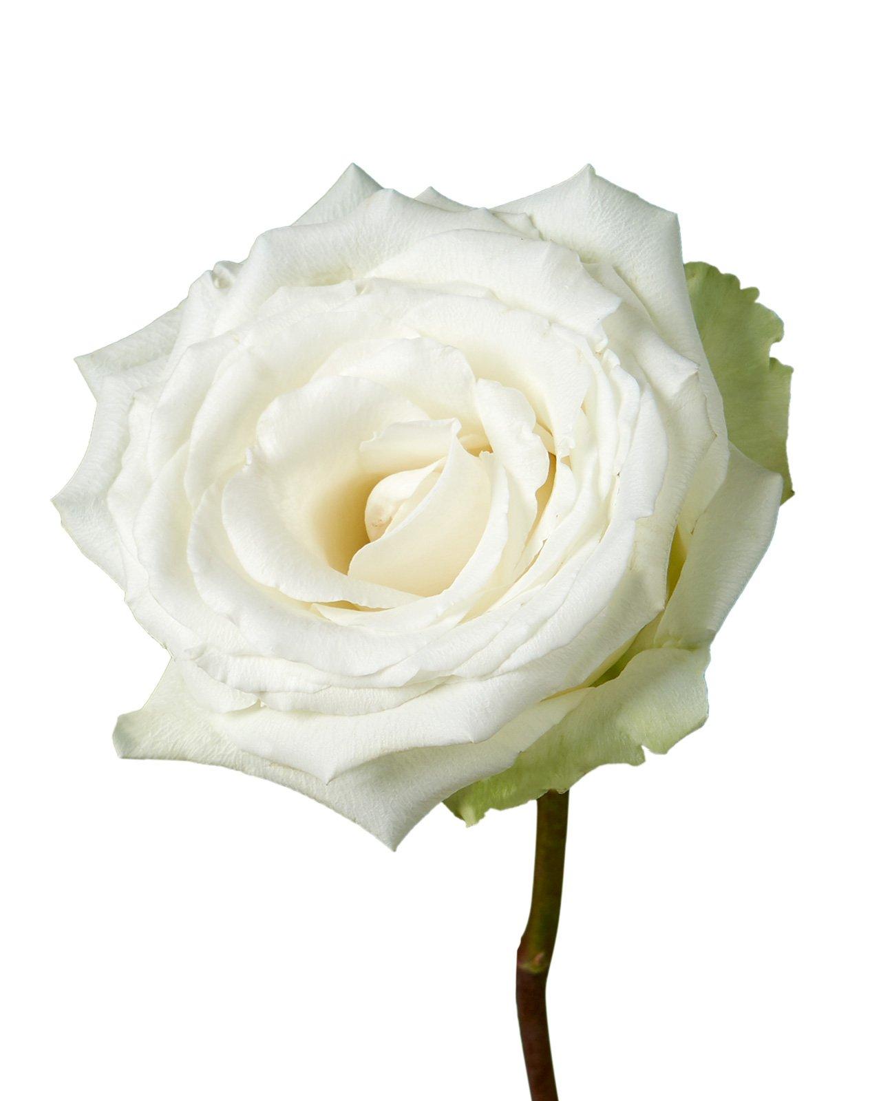 White Dove Rose