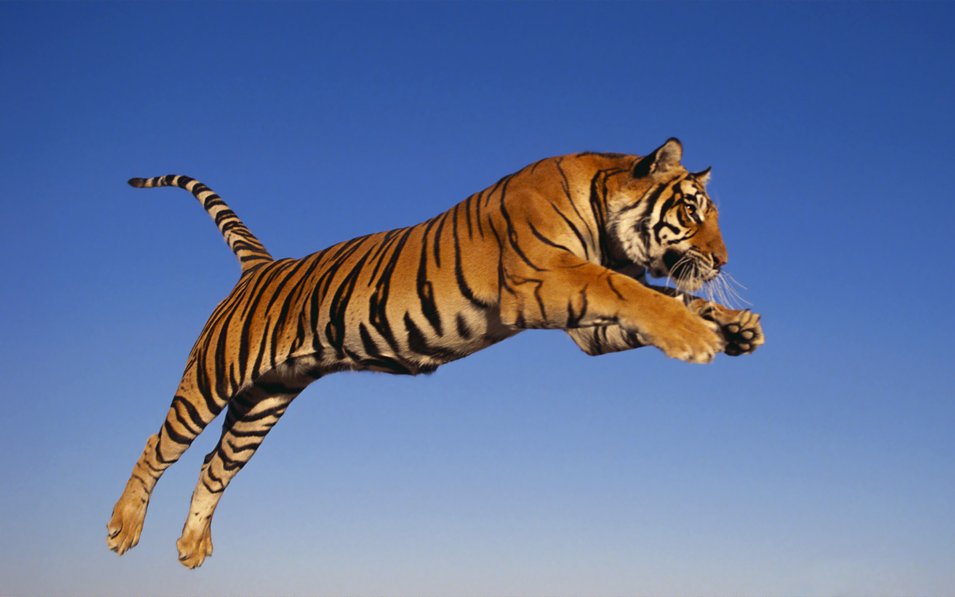 Wonderful Wallpaper High Quality Tiger - wallpaper  Gallery_545458.jpg