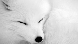 Free Download Arctic Fox Wallpaper