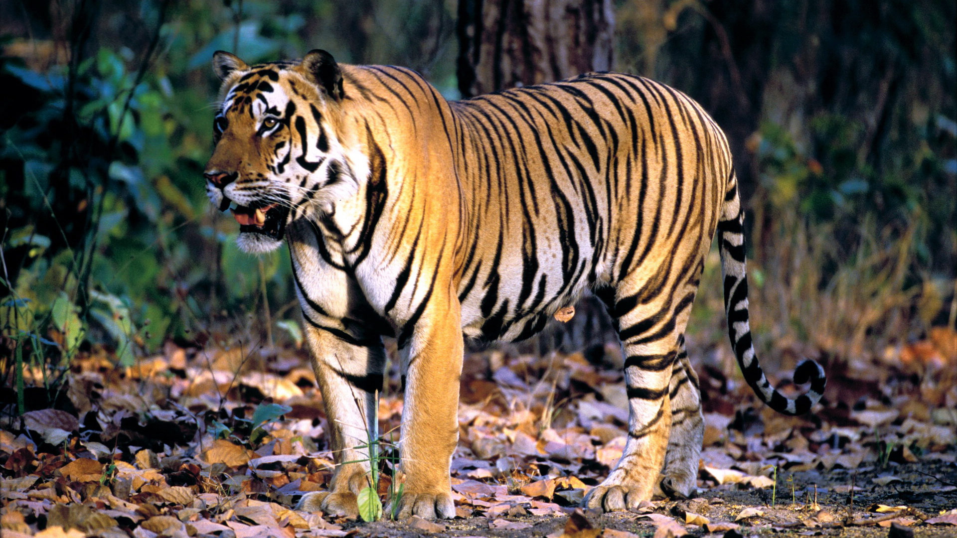 Wallpaper Wiki Bengal Tiger Background Full Hd Pic Wpb002203