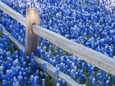 Bluebonnet Beautiful Flowers Captured in HD Digital Pixels as Wallpaper