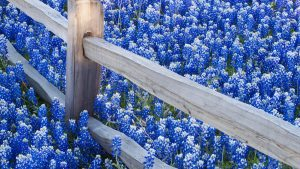 Bluebonnet HD Wallpaper