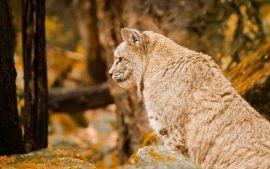 Bobcat Magnificent Images Captures as Desktop Background Scenes