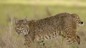 Bobcat Wallpaper Download Free