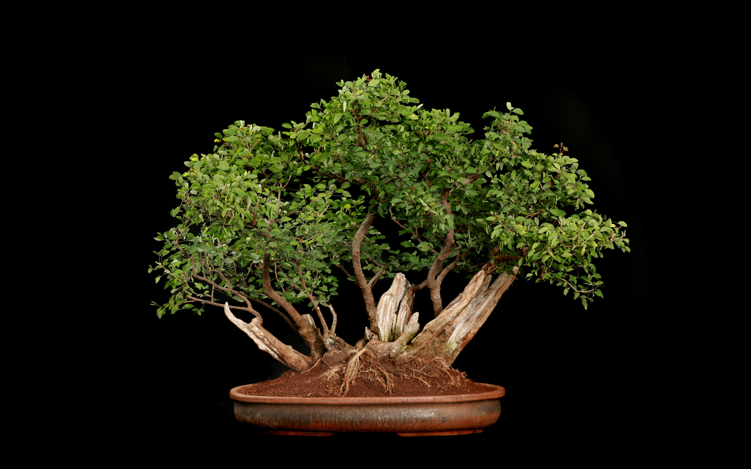 Wallpaperwiki Bonsai Tree Background HD PIC WPB003824