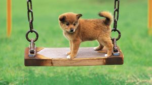 Boo The Pomeranian Dog Wallpaper Free Download