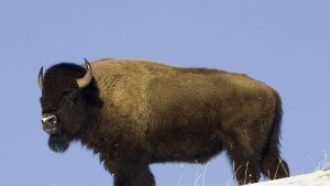 Buffalo Animals in America Desktop Screen Images Free