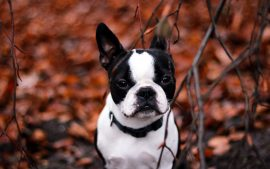 Bulldog Background Download Free