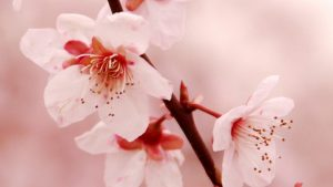 Cherry Blossom iPhone HD Wallpaper