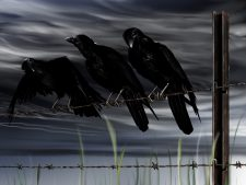 HD Crows Background