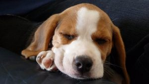 Beagle Dogs Photographed For Your Admiration in High Definition