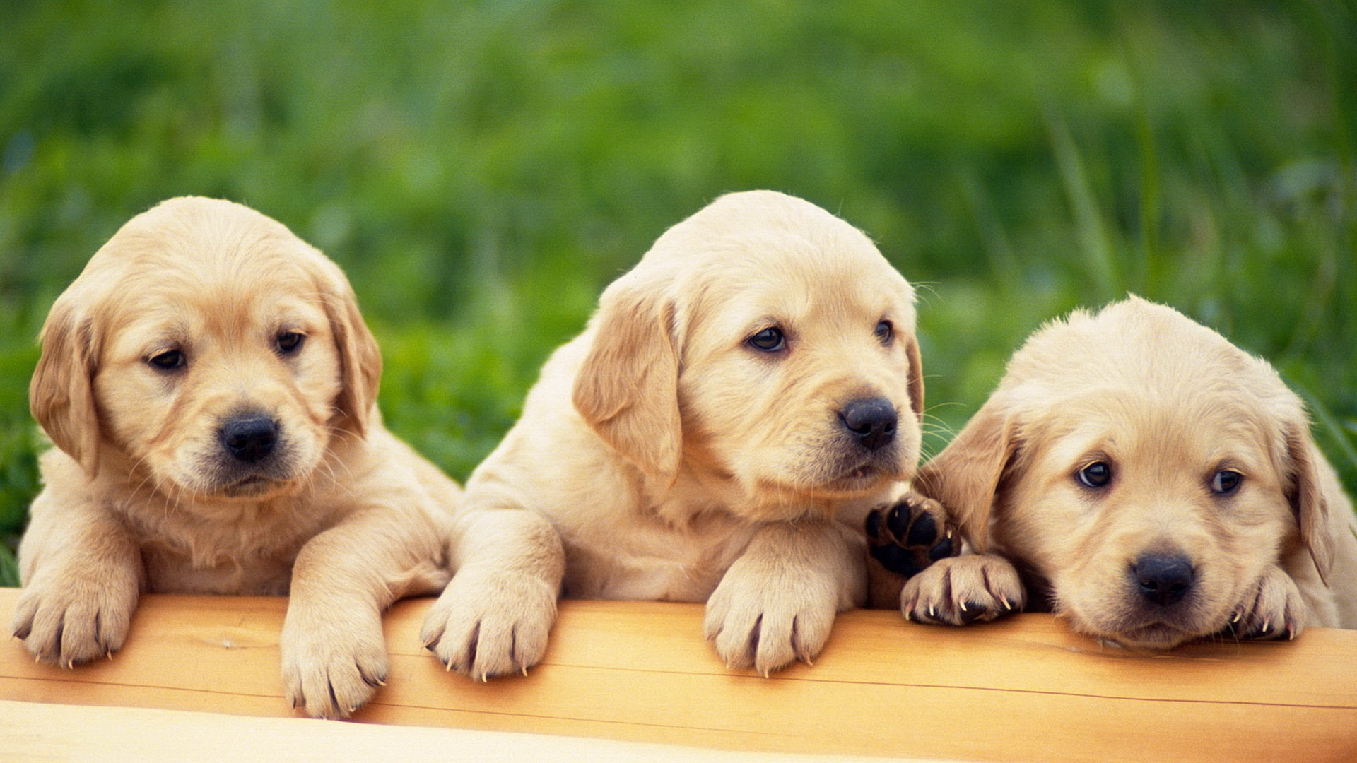 wallpaper.wiki-Cute-Puppy-HQ-Background-PIC-WPD003564