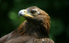 Desktop Eagle Bird HD Wallpapers Easily Downloadable