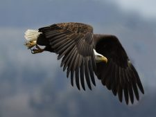 American Eagle Background Download Free