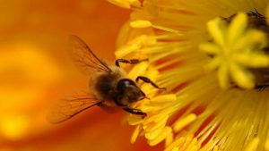 Bee Buzzing Background Pictures Download Here For Free
