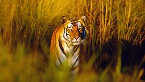 Download Free Bengal Tiger Wallpaper