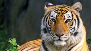 HD Bengal Tiger Background
