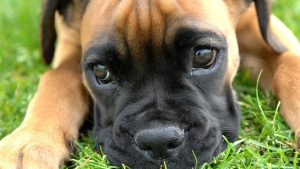 Boxer Dog Wallpaper HD
