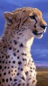 Cheetah Background HD for Phone