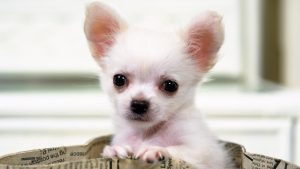 Chihuahua Wallpaper Free Download