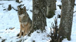 Download Free Coyote (Canis latrans) Images as Desktop Wallpapers