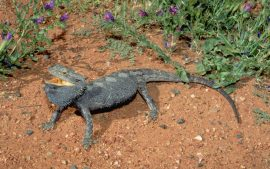 Bearded Dragon Wallpaper Free Download