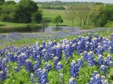 Bluebonnet Background Free Download