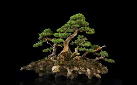 Bonsai Tree Wallpaper for Desktop