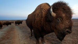 Buffalo Beefy American Large Animal High Definition Backgrounds Here