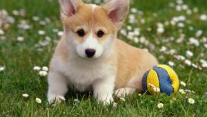 Corgi Background for Desktop
