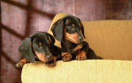 Cute Dog Dachshund Wallpaper Images Fully Downloadable Here