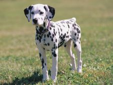 Download Free Dalmatian Wallpaper